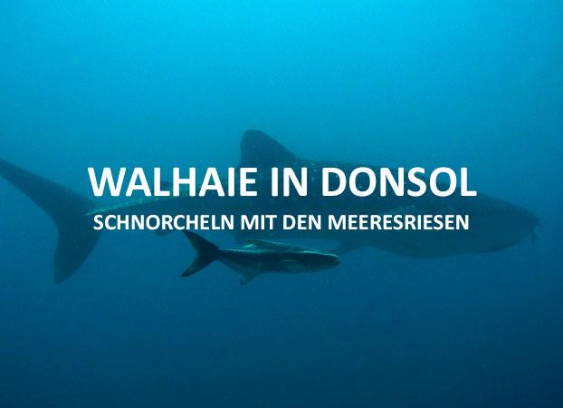 Mit Walhaien in Donsol schnorcheln