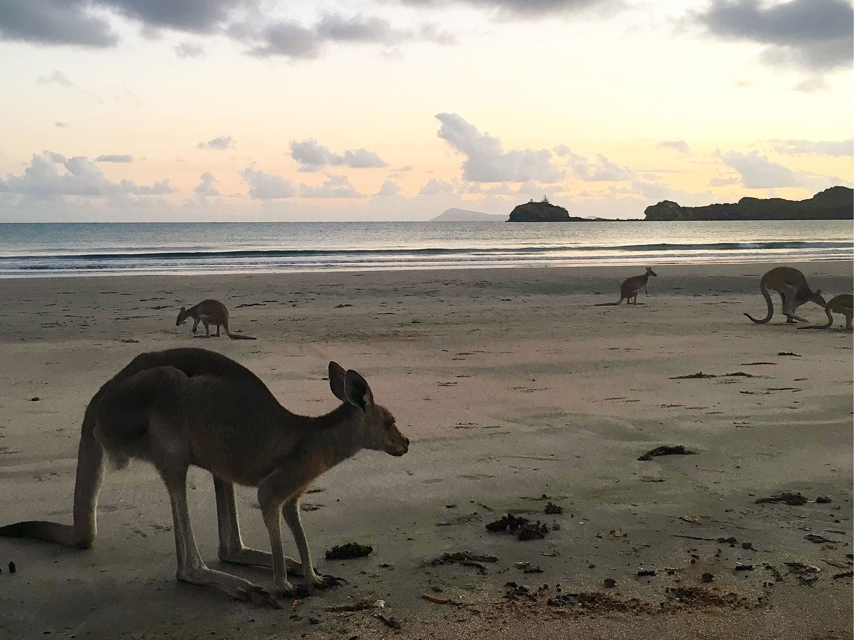 cape hillsborough kaengurus
